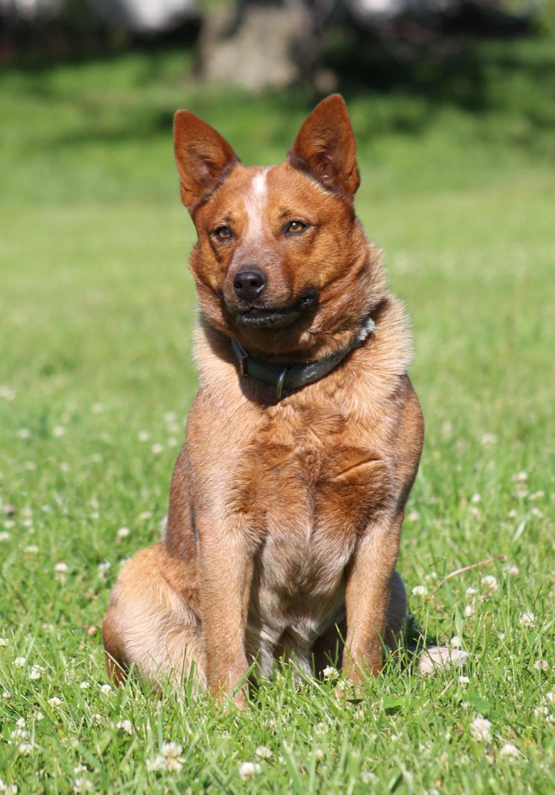 Spader Good Onya Lena - Working AKC Red Heeler ACD