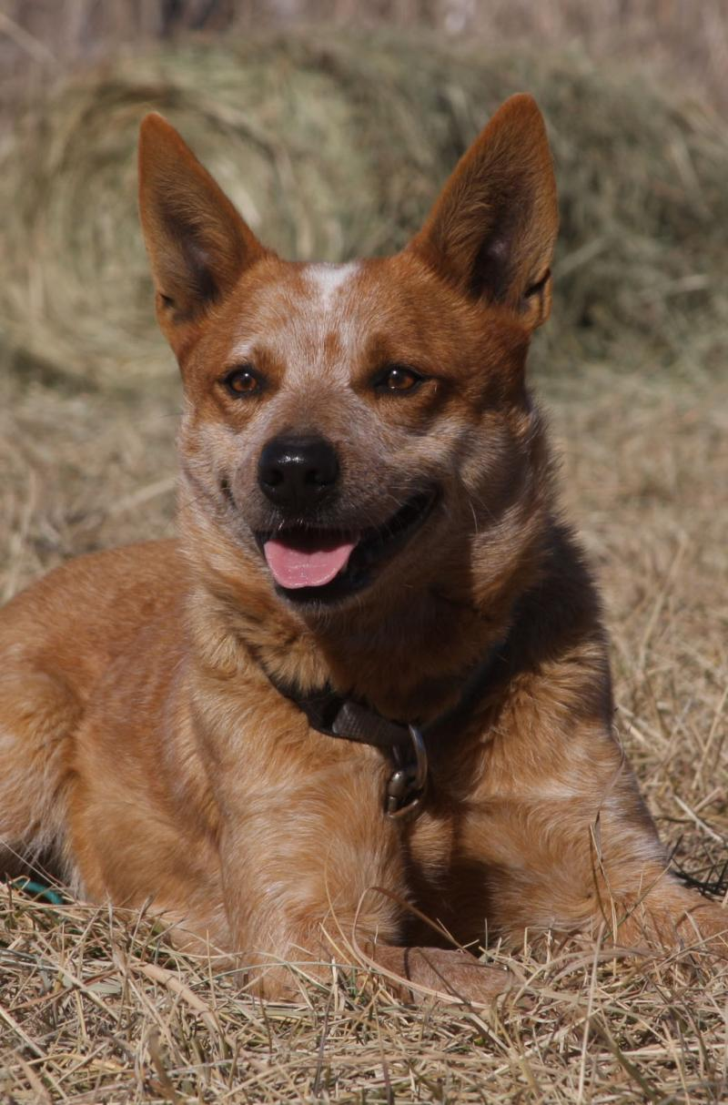 Kylies My Shout Mate-AKC Working Red Heeler