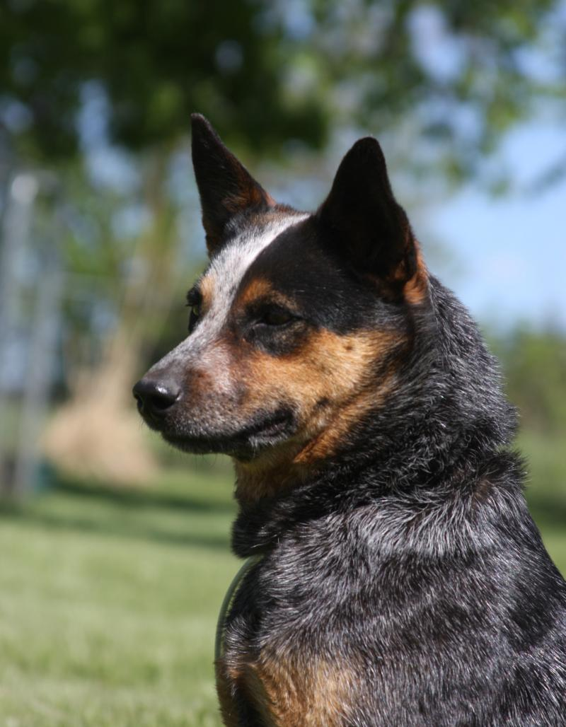 Spader Vaquero Jewel-Working Australian Cattle Dog