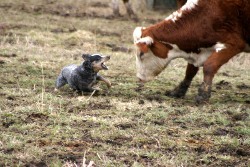 Spader Miss Wind - Working AKC Australian Cattle Dog